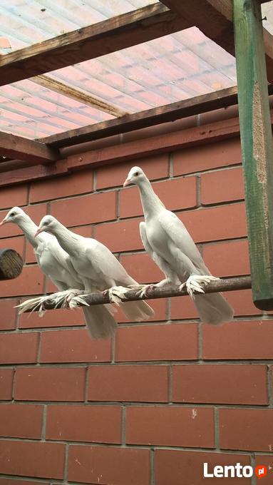 Chłodny Gołąb bocian płaski Gołębie bociany płaskie Włoszczowa JA09