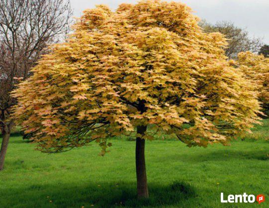 Oryginał Klon jawor drzewo ozdobne żółte liście 4m średnicy Krosno ZW01