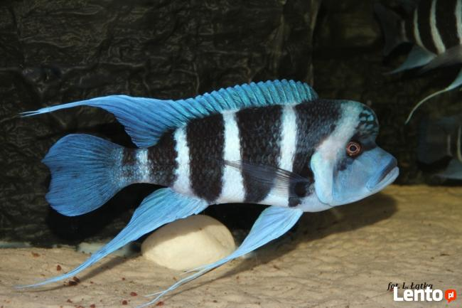 Ryby Tanganika Cyphotilapia Frontosa Moba Blue Zaire