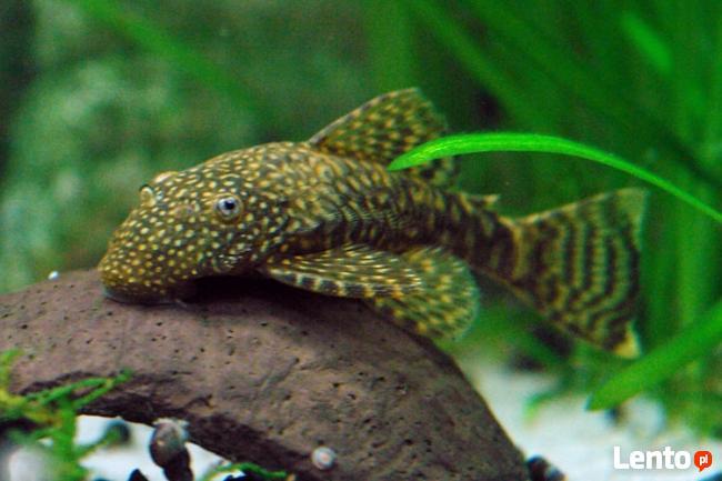 rybki Zbrojnik niebieski - Ancistrus dolichopterus