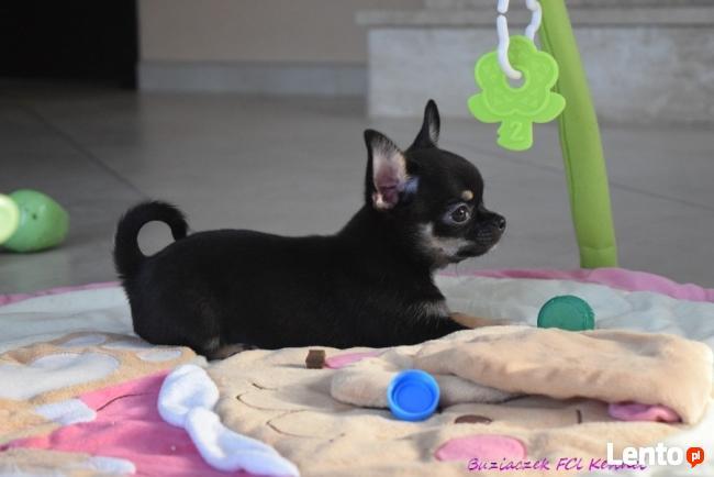 Chihuahua z rodowodem - rezerwacja