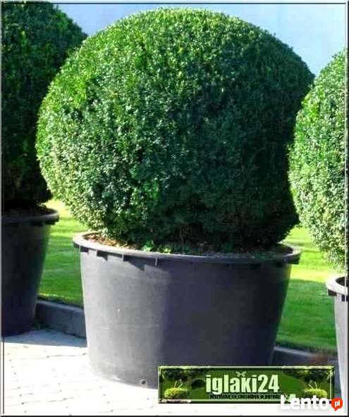 Sprzedam rośliny drzewa i krzewy iglaste, liściaste, drzewka