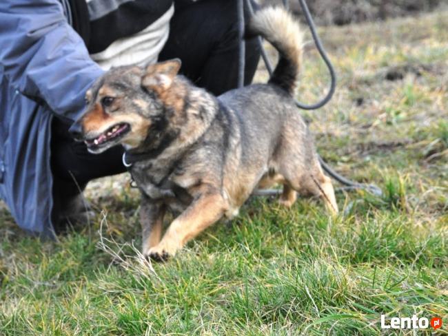 BROWNIE-wierny pies, świetny kompan, oddany psi przyjaciel
