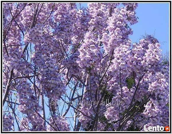 Paulownia - dochodowe drzewa szybko rosnące