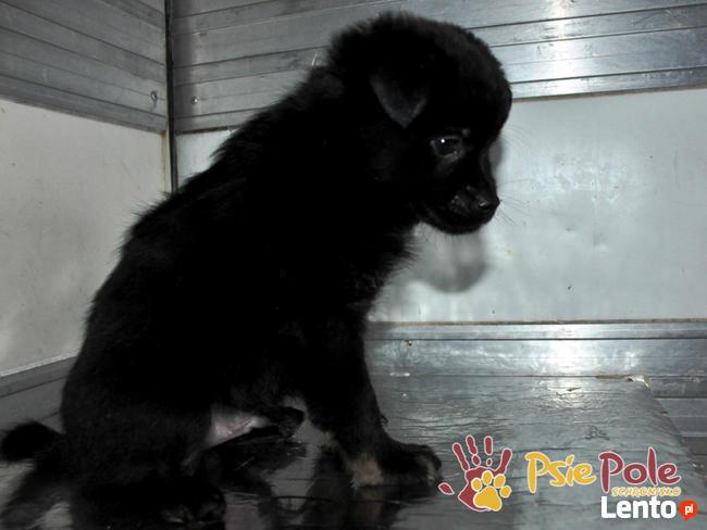 MANIUŚ-kochany niewielki puchaty szczeniaczek-8 tygodni-adop