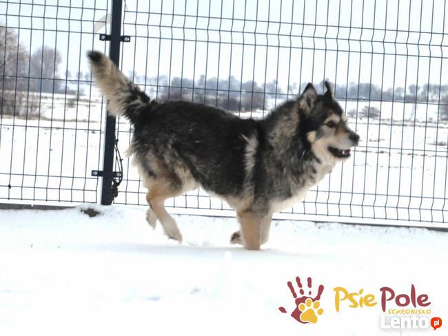 BESKID-wspaniały psiak w typie szorstkowłosego malamuta