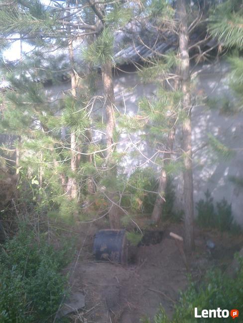sosna czarna, duże drzewa