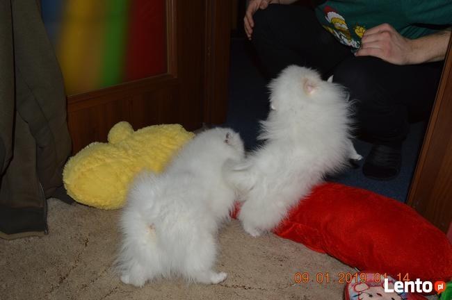 Pomeranian/ szpic miniaturowy . sliczne szczenieta. Gdansk