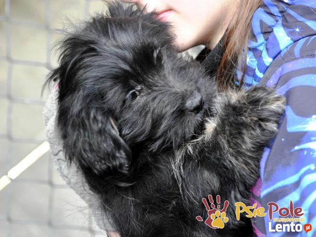 POLUSIA-super fajna, kochana,kudłata sunia-4-5 miesięcy, ADOP