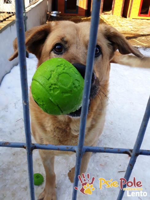 JOGUŚ-bardzo fajny, duży, pogodny psiak szuka domu, adopcja