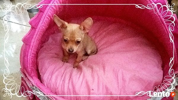 Chihuahua piesek