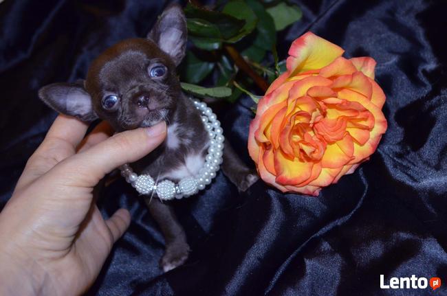 Chihuahua fci mini
