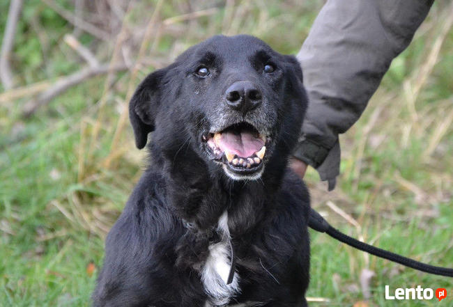 Sufler-czarny dostojny, piękny, mądry pies, 25kg