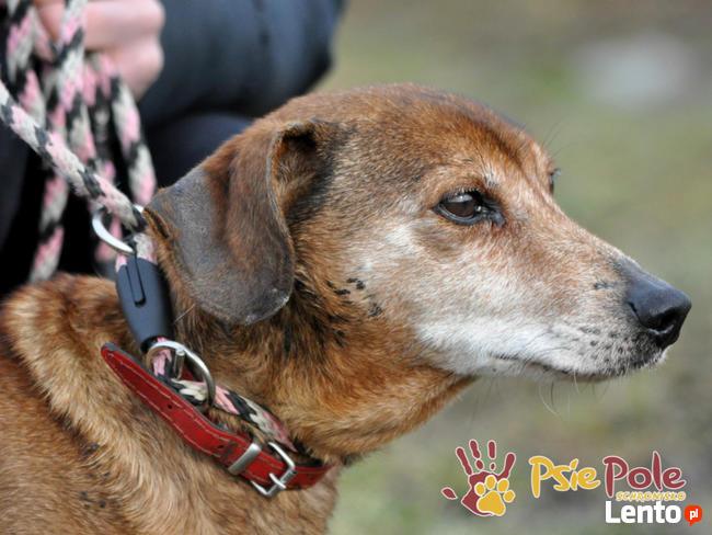 KAROLEK-starszy psiak w typie jamnika-spokojny, grzeczny,MIŁY