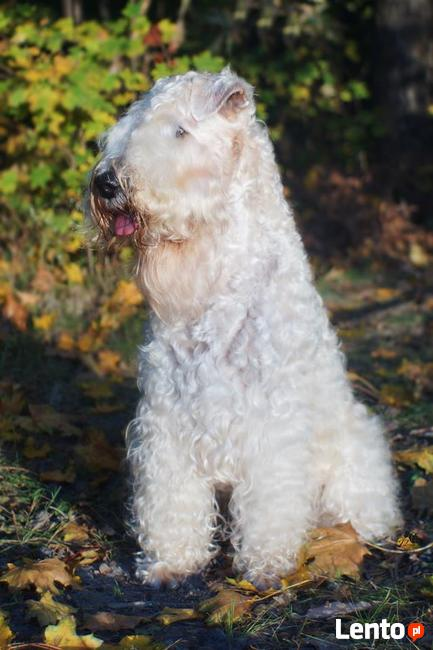 Irish Soft Coated Wheaten Terrier- terier pszeniczny- MIOTY