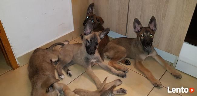 Owczarki belgijskie-malinois 3-miesięczne od właściciela