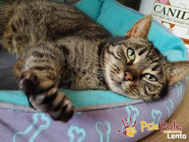 KATSI-śliczna pręgowana koteczka szuka kochającego domu, Adop