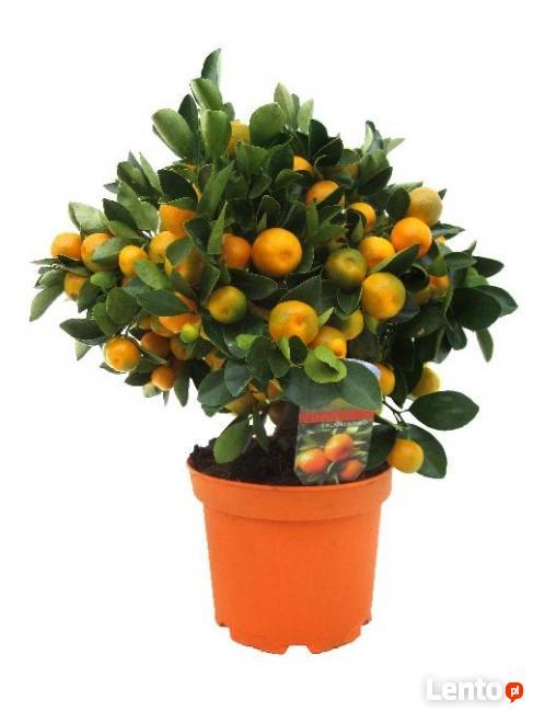 Cytryny, mandarynki, pomarańcze - drzewka na prezent!