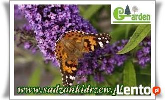 sadzonki do zalesien swierk modrzew grab dab topola akacja