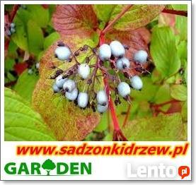 sadzonki miododajne akacja lipa klony wierzby