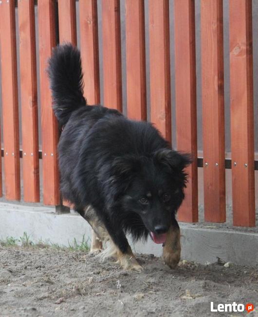 FLAWI Owczarek Czeski do adopcji