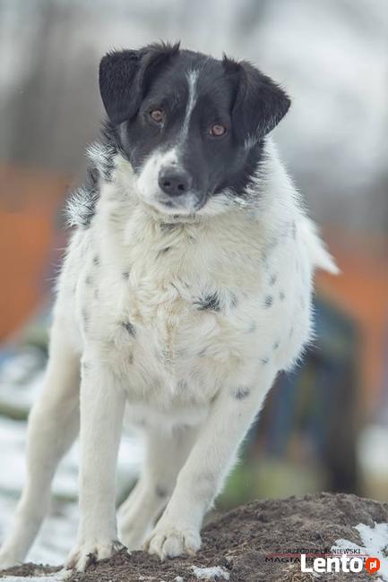 Dropek młody cudny psiak szuka domu