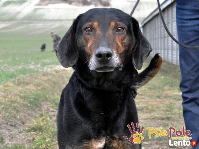 ORINO-piękny, bardzo przyjazny psiak w typie gończego-adopcj