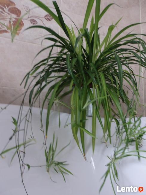 Zielistka kwiat domowy