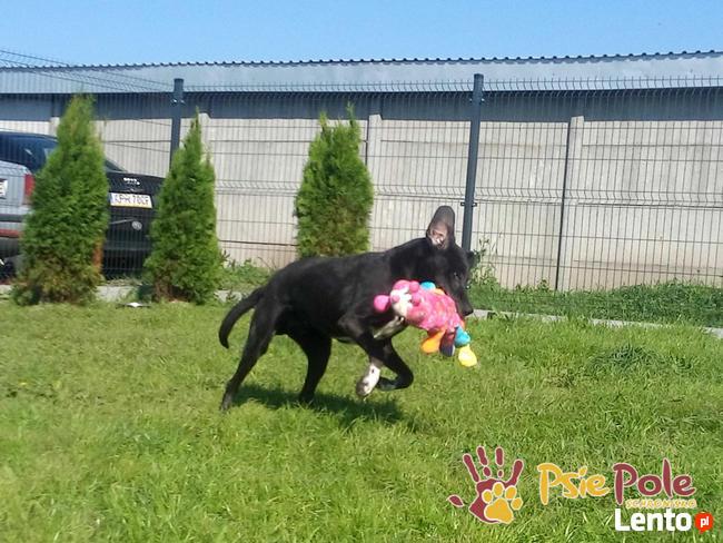 FARUŚ-super fajny psiak w typie pointera-szukamy domu, adopcj