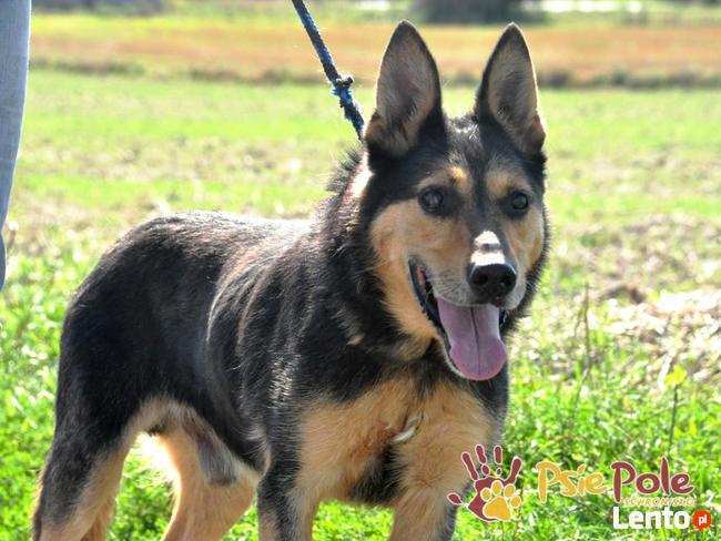 Dostojny ADMIRAŁ-wspaniały, piękny psiak w typie owczarka-ADO