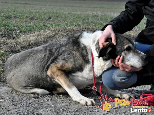 FREDUŚ-kochany, spokojny duży staruszek- bardzo uroczy psiak
