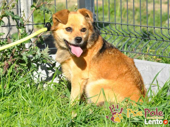 BUBUŚ-piękny mały rudy psiak-potrzebuje spokojnego opiekuna