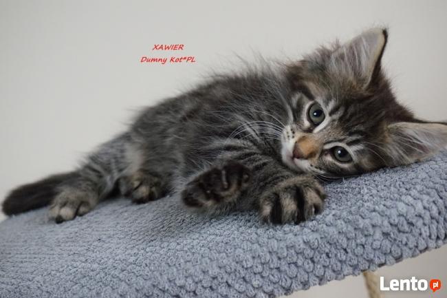 Archiwalne Kocięta Norweskie Leśne W Hodowli Dumny Kot W Toruniu Toruń