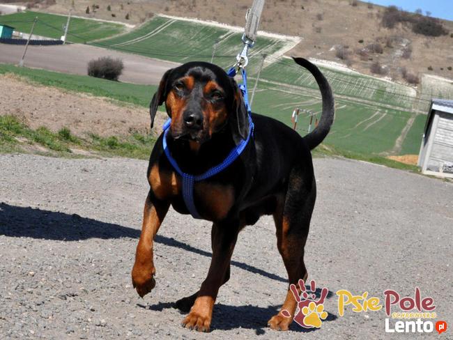 DEO-piękny psiak w typie gończego pilnie szuka domu