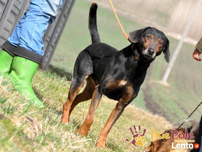 ORINEK-wspaniały, przepiękny psiak w typie gończego austriac