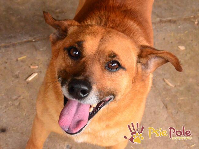 RUMIANEK-wesoły, radosny i pogodny psiak szuka kochającego d