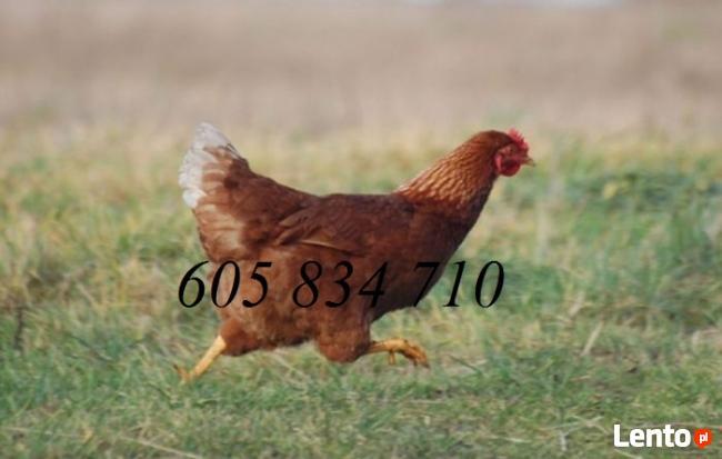 Młode kury nioski sprzedam-dowóz cały kraj GRATIS
