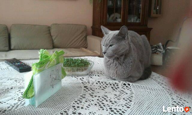 Uwaga Zgierz os 650 lecia zaginał kot rosyjski niebieski