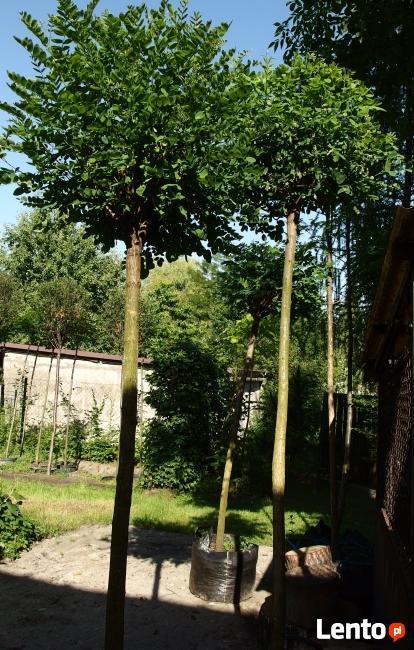 Drzewa do nasadzeń zastępczych 14-18 cm