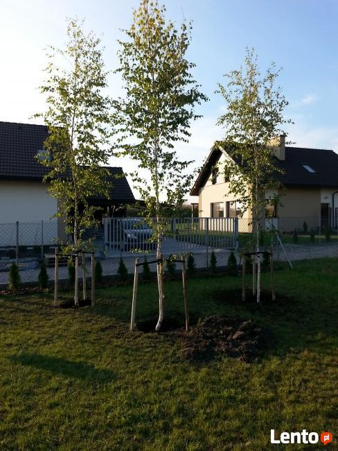 Duże drzewa ozdobne 14 cm