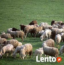 Ukraina. Owce kozy miesne 140 zl/szt, jagniecina 3 zl/kg