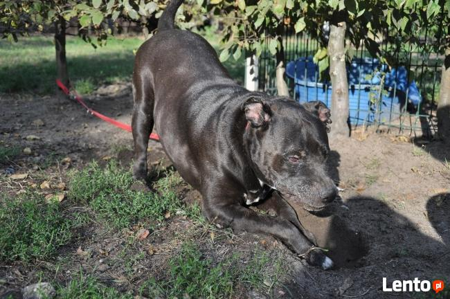 Bąbel, wspaniały pies dla osoby odpowiedzialnej i z doświadc