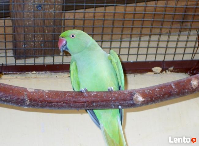 Przyjmę papugi nierozłączkie aleksandretty i kanarki