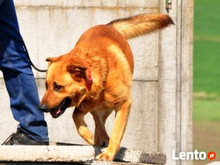 RUDAS-przepiękny, silny, energiczny młody psiak- posłuszny