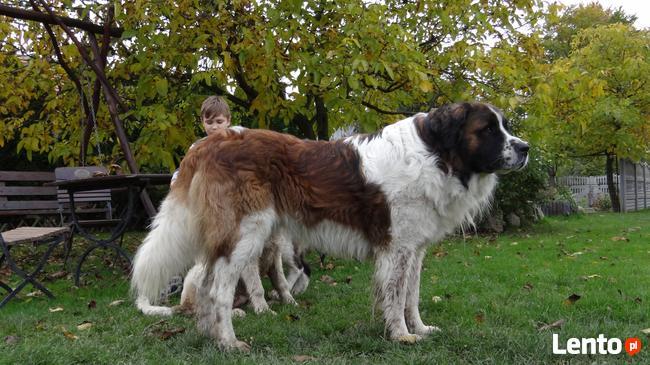 moskiewski pies stróżujący bernardyn kaukaz owczarek