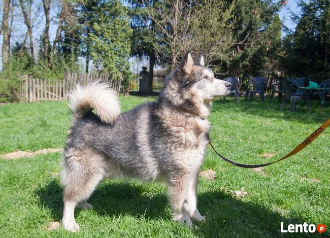 Axel cudny Alaskan Malamute chce odnaleźć swojego człowieka