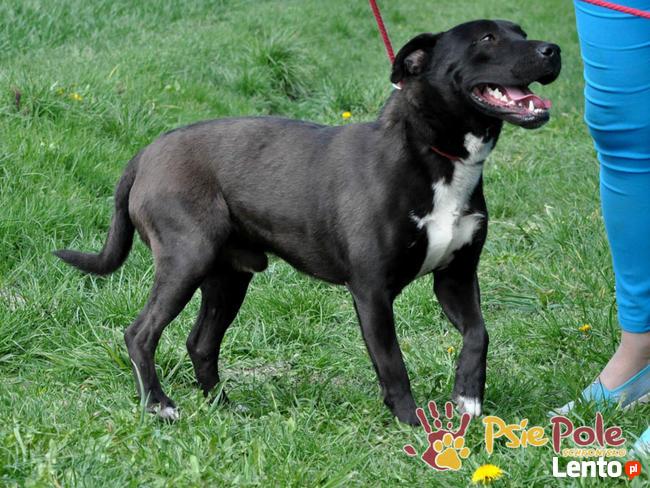 KONRAD-cudowny psiak o duszy 100% amstaffa-szukamy domu