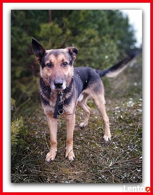 HUZAR, czujny,przyjazny szczepiony pies mix owczarek.