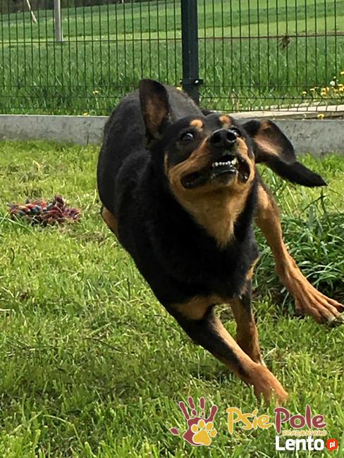 HOMEREK-prześliczny, miły, grzeczny i spokojny psiak-adopcja