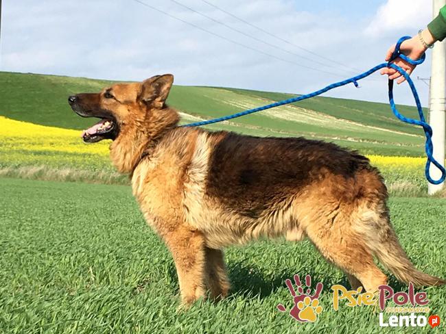 WINSTONEK-przepiękny, dorodny psiak w typie owczarka-4-5 lat